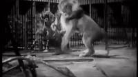 老影像:狮子和老虎在铁笼中的血腥格斗