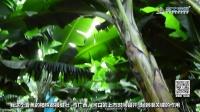 【香蕉】河口云山农业科技有限公司山地香蕉周年生产核心技术