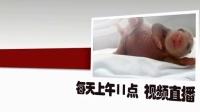 8月20日熊猫三胞胎直播