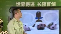 8月21日熊猫三胞胎直播