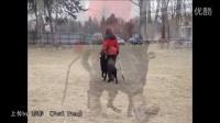 国外小美女训犬16个月的狗狗
