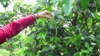 【蜜柚】健康理疗   柚花为什么这么壮