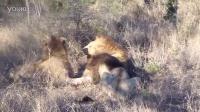两头雄性狮子攻击并杀死另一只雄性狮子
