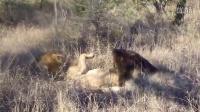两雄狮子攻击和杀死另一个雄性狮子视频# 1