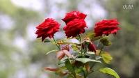 你是我的玫瑰你是我的花
