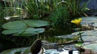 延时摄影:盛开的睡莲  water lilies blooming - timelapse