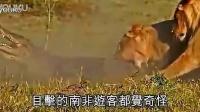 大鳄吃幼狮,却被母狮五马分尸_标清