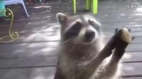 实拍浣熊妈妈用小石头敲门为幼崽讨食[高清]