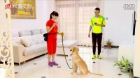 第五集坐定等待意识的室内初步训练(犬道唐伟敏 宠物犬教程 金毛训练)