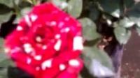 Batik Rose- Mawar batik, exist in indonesian only