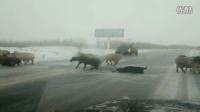 下雪天羊过马路,见过吗?绝对搞笑!