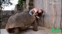 请君欣赏龟中巨无霸——亚达伯拉象龟