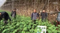 2016年02月24日辽宁省沈阳市辽中县使用耕田乐黄瓜视频