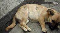 可怜的小狗被车压了没人管