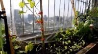 [有为农园]2016/10/24-白天 城市阳台 实际种植情形 鱼菜共生 直播