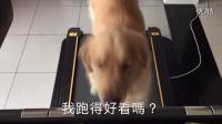 【萌宠日常】金毛上跑步机健身,可被主人累死了