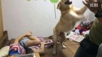 """Golden Retriever protects young owner when dad """"punches"""" him"""