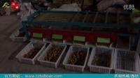 泰信牌轨道式多功能选果机-新疆185纸皮核桃分选设备厂区演示视频