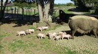 农场公园 Ambury, 可爱猪宝宝