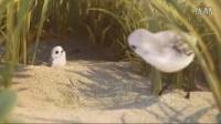 《勇敢的小水鸟》