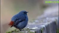 鸟类视频《红尾水鸲之四》野生鸟视频