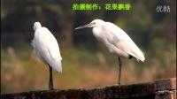 鸟类视频《一对白鹭》野生鸟视频