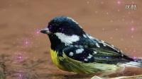 鸟类视频《黄腹山雀洗澡》野生鸟视频