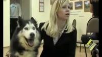 傻狗跟女主人接受采访,一脸吃惊的表情