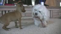 吉娃娃看狗啃骨头Chihuahua Puppy Stares at Dog Chewing Bone