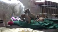 可爱吉娃娃马耳他小狗Cute Chihuahua Puppies and a Maltese Dog