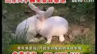 獭兔养殖技术4(共4集)獭兔价格 肉兔养殖技术 獭兔养殖基地