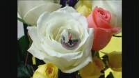 玫瑰花 031912