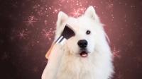 小萨摩学化妆,一秒变二哈!