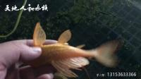红眼女王大帆吃青苔防暴藻除藻工具鱼绿水阳光土塘饲养1什么样的女皇吃青苔更好