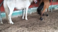 骑乘马养殖场视频