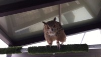 DK猫の小宠物-3 猫头鹰~卖萌打滚求订阅~『日本』
