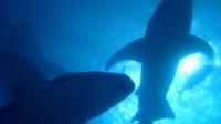 夜潛 護士鯊群