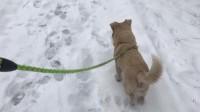 2018的第二场雪,在雪地里遛狗。