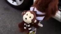 聪明活泼的泰迪狗,主人给它一番打扮,萌得像个洋娃娃!