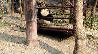 大熊猫03
