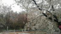 玉渊潭雨雪樱花