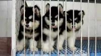 阿拉斯加雪橇犬 预定
