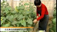 白玉黄瓜栽培技术