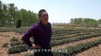北方茶叶(海青)使用中草药制剂和奥农乐防冻害、改良土壤,提高茶叶品质、产量效果展示(山东黄岛区)