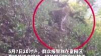 杭州野生动物世界三只未成年金钱豹外逃,目前已捕获追回一只。