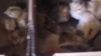 眉山客户的鸡苗#眉山鸡苗#九斤黄鸡苗#鸡苗#眉山九斤黄鸡苗#养鸡人 #优质鸡苗 #家禽养殖 #养鸡技术