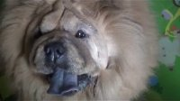 【萌犬仁球】你会发现让狗狗先吃饭,是错的。