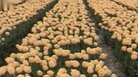 萨克斯    绒花