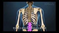 脊椎压缩性骨折疼痛的原理骨科3D动画视频讲解--正骨推拿学习必备神器