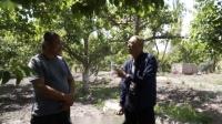新疆香梨用大蒜油防控虫害效果展示